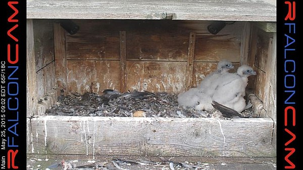 Beaty & DotCa's 3 chicks (Dorothy's grandkids), 25May 2015 (photo from RFalconcam)