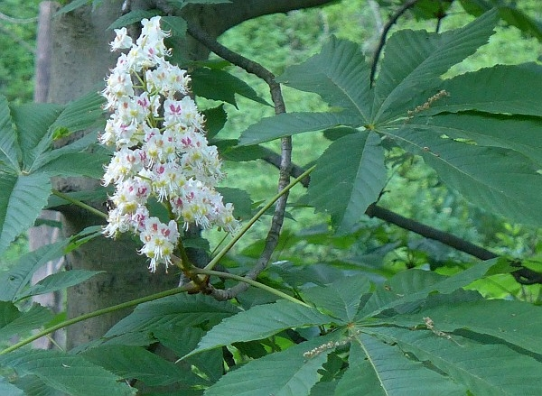 Horse Chestnut tower of flowers, Schenley Park (photo by Kate St. John)