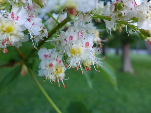 Horse Chestnut flowers, Schenley Park (photo by Kate St. John)