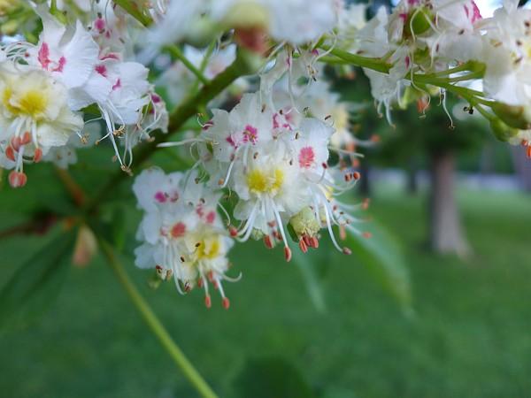Horse Chestnut flowers, Schenley Park (photo by Kate St. John)