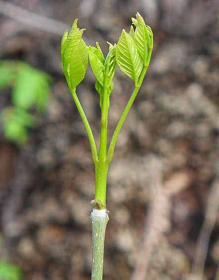 White ash leaf-out, 1 May 2015 (photo by Kate St. John)
