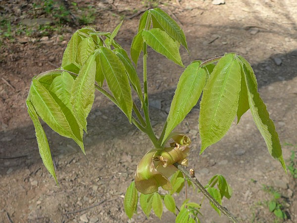 Shagbark hickory leaves, 4 May 2015 (photo by Kate St. John)