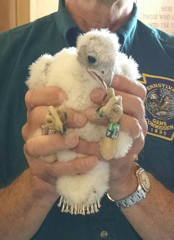 Peregrine chick at Cathedral of Learning, 29 May 2015 (photo by Kate St. John)