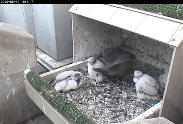 21 day old chicks, 17 May 2009 (photo fromthe National Aviary falconcam at Univ of Pittsburgh)