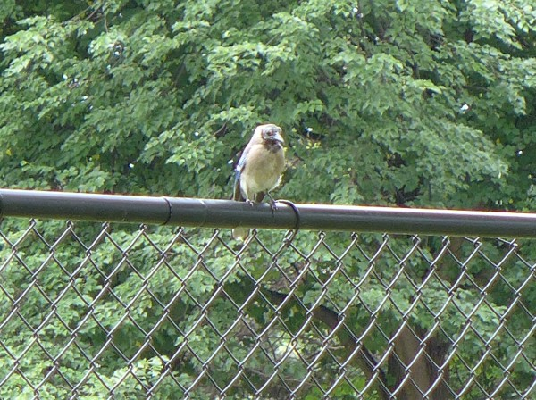Bald blue jay, June 2015 (photo by Kate St. John)