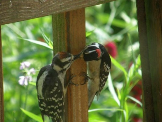 Downy woodpecker juvenile and adult (photo by Marcy Cunkelman)