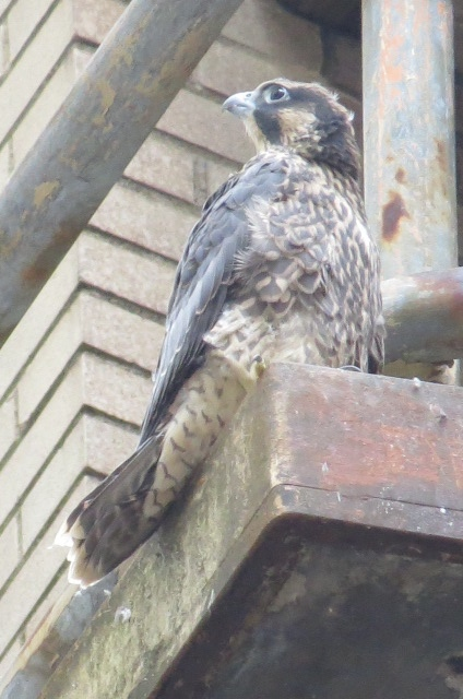 The last nestling (#3) at the Downtown nest on Wed. June 17, 2015 (photo by Lori Maggio)