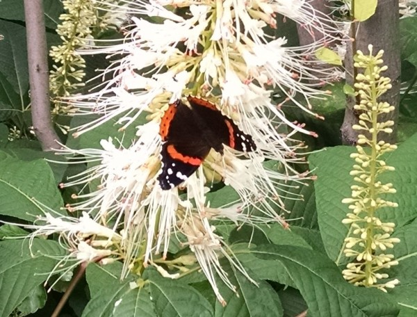 Red admiral on bottlebrush butterfly (photo by Kate St. John)