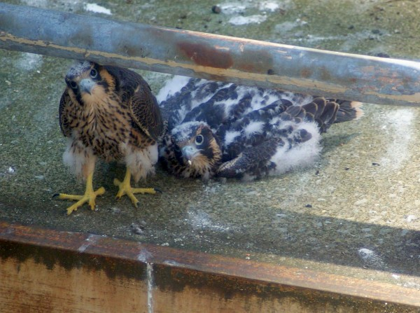 Two remaining peregrine nestlins at Downtown Pittsburgh nest, 11 June 2015 (photo by Matt Digiacomo)