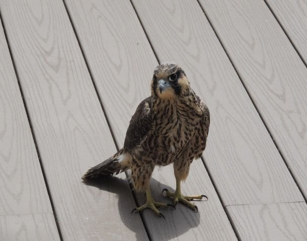 Fledgling #2 on the rescue porch, 14 June 2015 (photo by Terry Wiezorek)