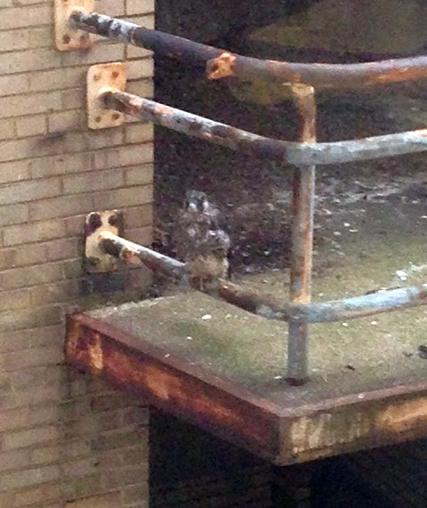 Peregrine nestling #3 is the only one to perch on the railing (photo by Marcia Cooper)
