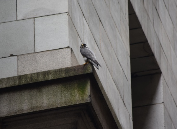 Louie during Downtown Fledge Watch, 13 June 2015 (photo by Anne Marie Bosnyak)