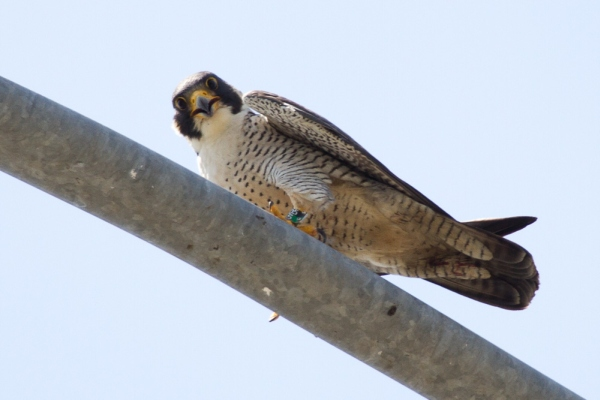 Male peregrine at Neville Island I-79 Bridge (photo by Peter Bell)