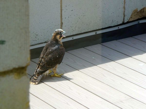 """Downtown Pittsburgh, first fledgling on the """"rescue porch,"""" 11 June 2015(photo by Kate St. John)"""