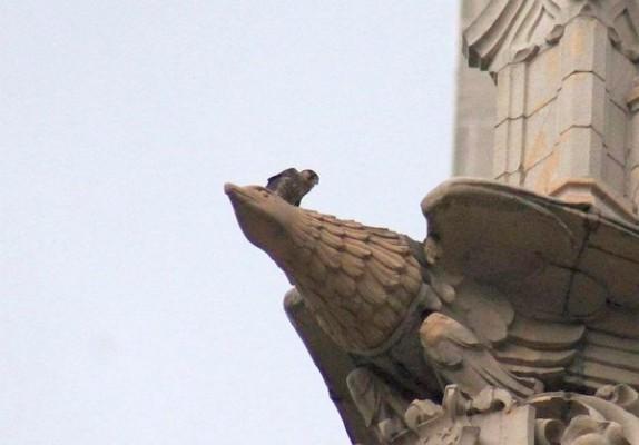 Peregrine Fledgling #2 perches on the eagle gargoyle, Union Trust Building, 15 June 2015 (photo by Jamie Sunderland)