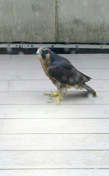 Fledgling #3 on the rescue porch, 18 June 2015 (photo by Frank Baker)
