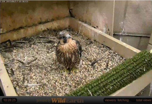 Peregrine nestling at Pitt, 17 June 2015 (photo from the National Aviary falconcam at Univ of Pittsburgh)