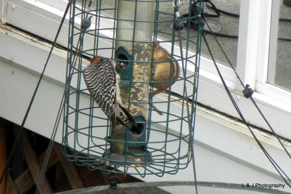 Red-bellied woodpecker and chipmunk at squirrel-proof bird feeder (photo by Jonathan Nadle)
