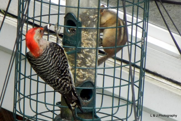 Red-bellied woodpecker and chipmunk coexist at the squirrel-proof bird feeder (photo by Jonathan Nadle)