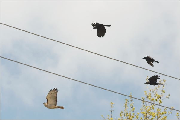Red-tailed hawk mobbed by crows (photo by Dori via Wikimedia Commons)