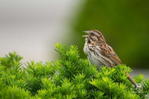 Song sparrow at Schenley Plaza, 2013 (photo by Peter Bell)