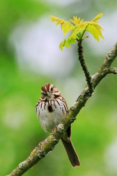 Song sparrow (photo by John Beatty)