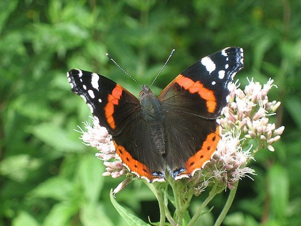 Red admiral butterfly in England (photo from Wikimedia Commons)