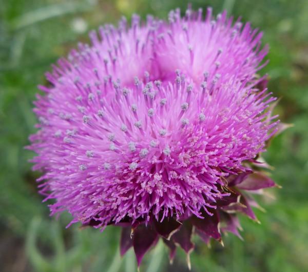 Nodding thistle flower head (photo by Kate St. John)