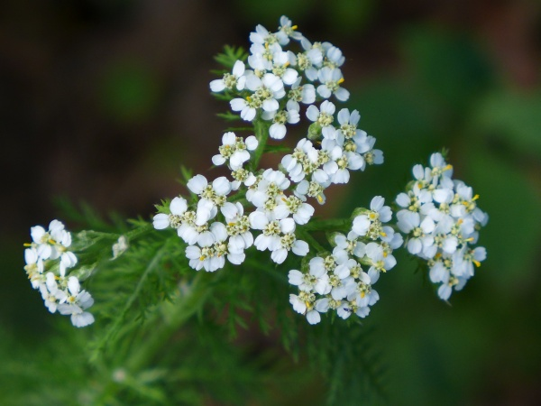 Yarrow in bloom (photo by Kate St. John)