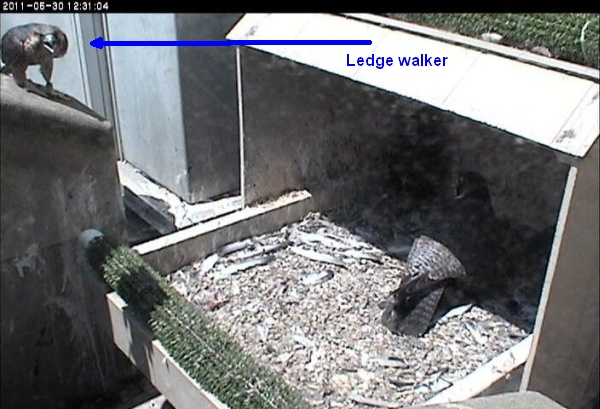 Ledge walking juvenile, 2011 (photo from the National Aviary falconcam at Univ of Pittsburgh)