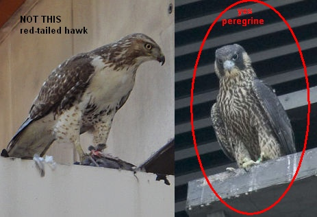Comparison: red-tailed hawk & juvenile peregrine (photos by Katie Cunningham & Kim Steininger)