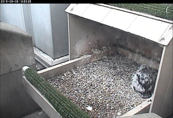 The chick almost matches the nest, 8 June 2015 (photo from the National Aviary falconcam at Univ of Pittsburgh)