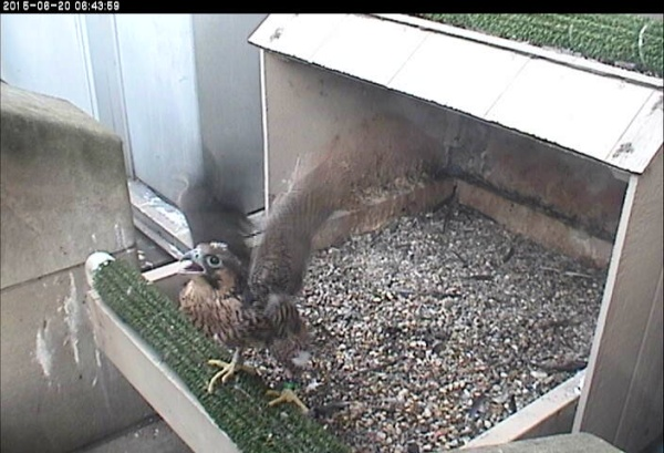 The active nestling at Pitt, 20 June 2015 (photo from the National Aviary snapshot cam)