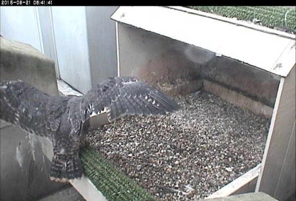 Pitt peregrine chick, right wing feather defect -- before first flight (photo from the National Aviary snapshot cam at Univ of Pittsburgh)