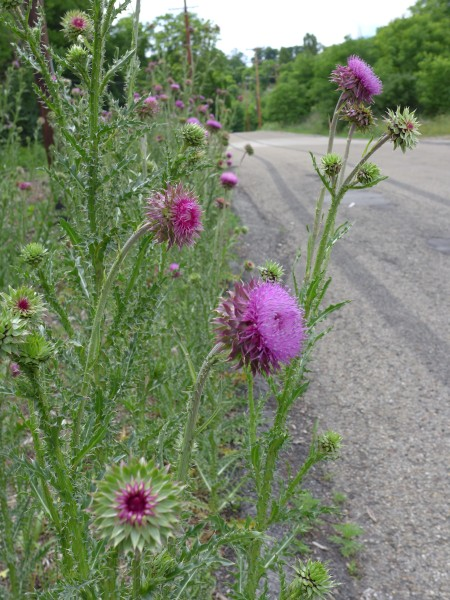 Nodding thistle nods (photo by Kate St. John)