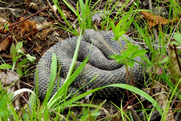Massasauga Rattlesnake at Jennings (photo by Dianne Machesney)