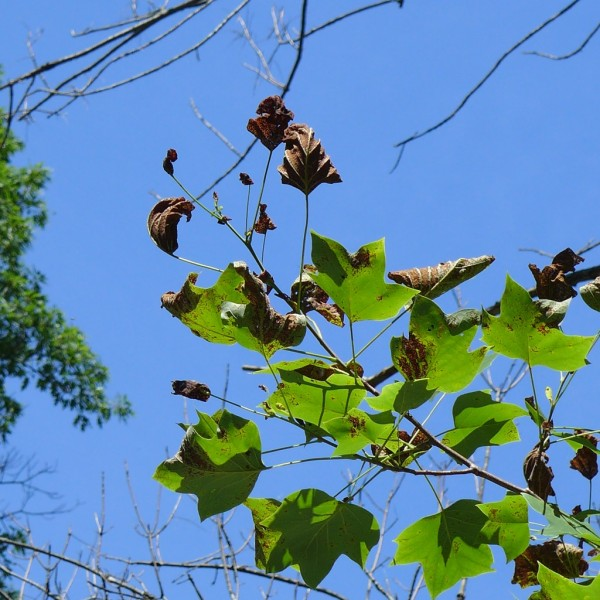 Tuliptree with anthracnose, Schenley Park, 22 June 2015 (photo by Kate St. John)