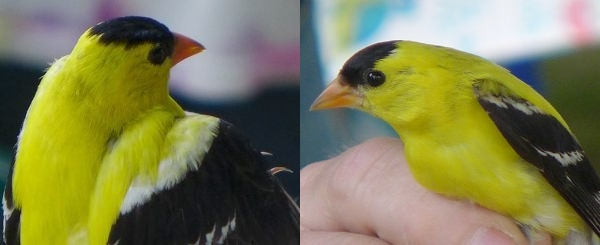 Scapulars on 2-year+ male American goldfinch compared to 1st-year male on the right (photo by Kate St. John)