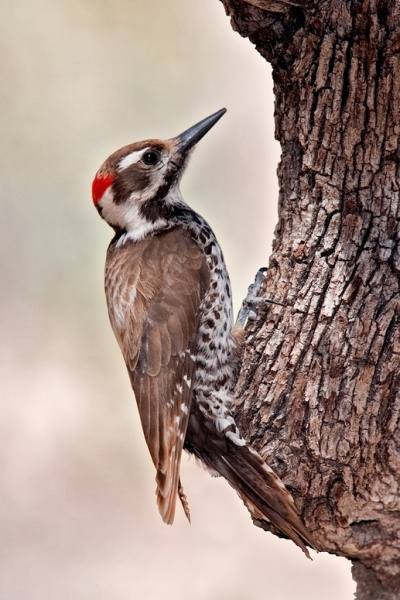 Arizona Woodpecker (photo from Wikimedia Commons)