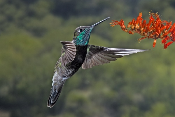 Magnificent hummingbird (photo from Wikimedia Commons)
