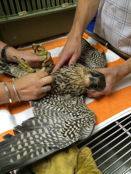 2015 Pitt peregrine fledgling checked by vet (photo courtesy ARL Wildlife Center)