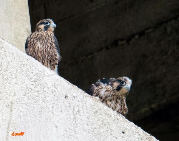 Young peregrines (pre-fledge) at Westinghouse Bridge, 5 July 2015 (photo by Dana Nesiti)