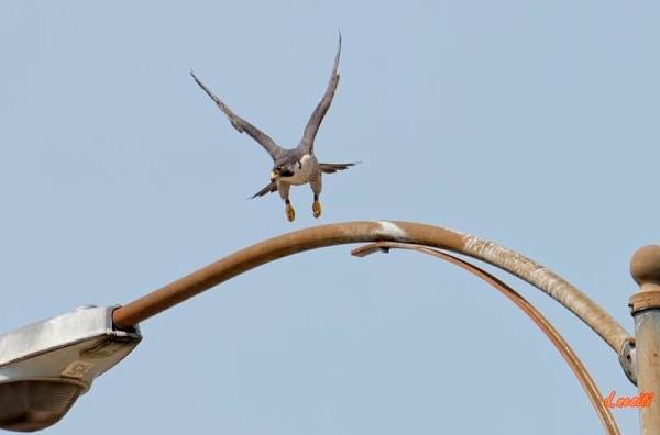 Peregrine lifting off, Westinghouse Bridge (photo by Dana Nesiti)