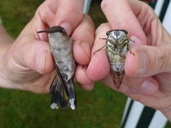 Ruby-throated hummingbird compared to a cicada (photo by Kate St. John)