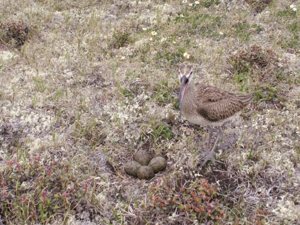 Whimbrel with eggs (photo by Dr. Matthew Perry, USGS)