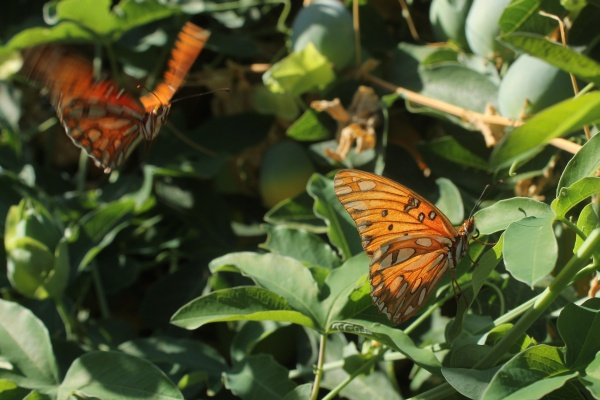 Gulf Fritillary courtship on passion vine (photo Edward Rooks via Wikimedia Commons)