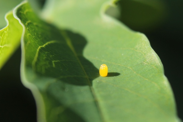 Gulf Fritillary butterfly egg on passion vine leaf (photo by Edward Rooks via Wikimedia Commons)
