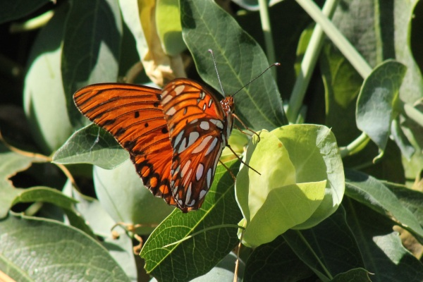 Gulf Fritillary on passion vine (photo Edward Rooks via Wikimedia Commons)