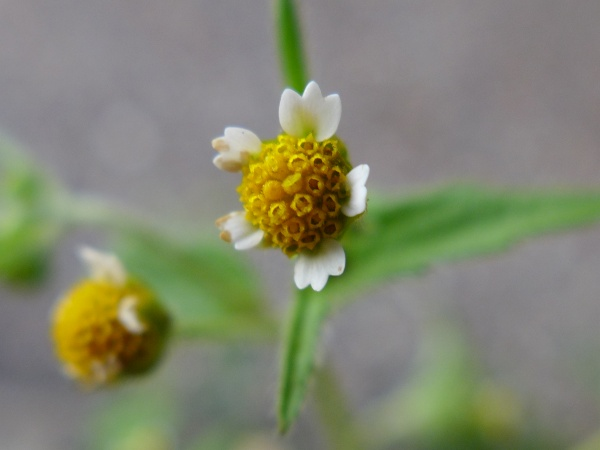 Galinsoga or Quickweed, flower closeup (photo by Kate St.John)
