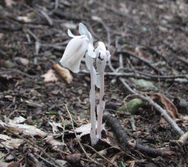 Indian pipe blooming (photo from Wikimedia Commons)